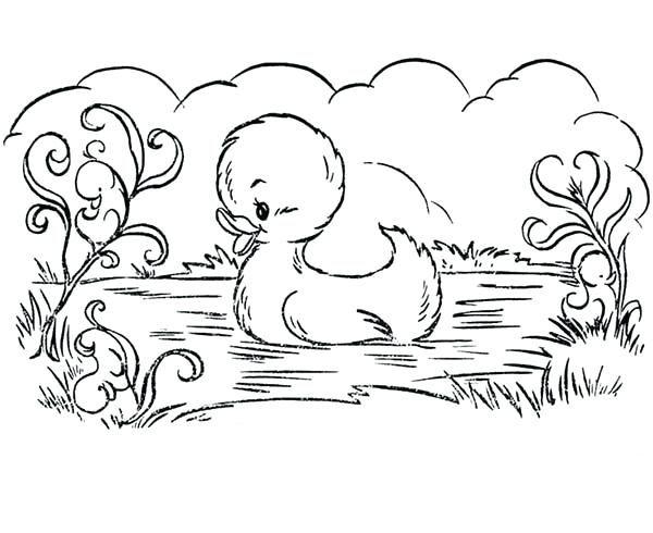 Vịt con bơi trong hồ nước